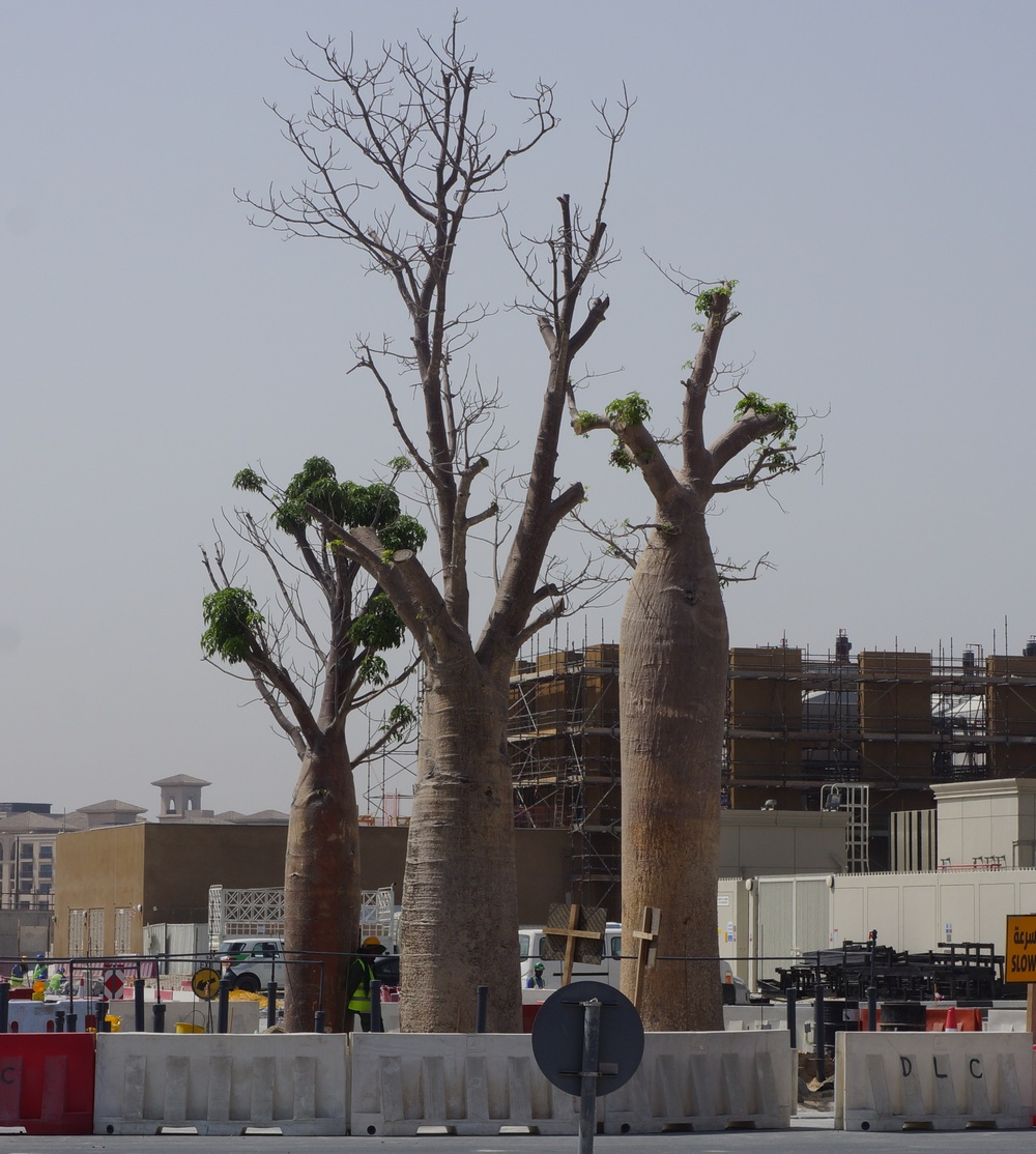 Baobab trees Dubai & Baobabs Tree Surveying and a Walk in the Park u2013 Tree Care in the UAE