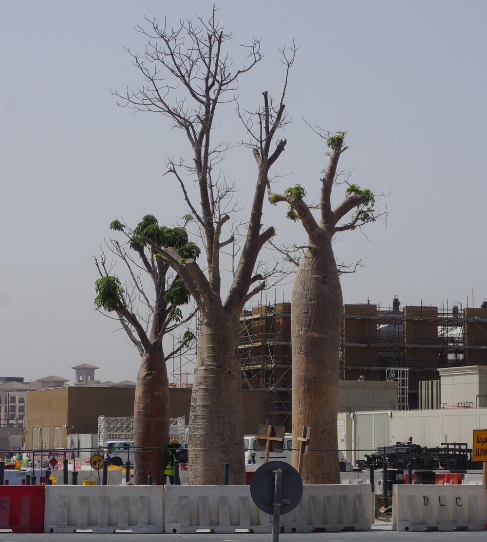 Baobab trees, Dubai