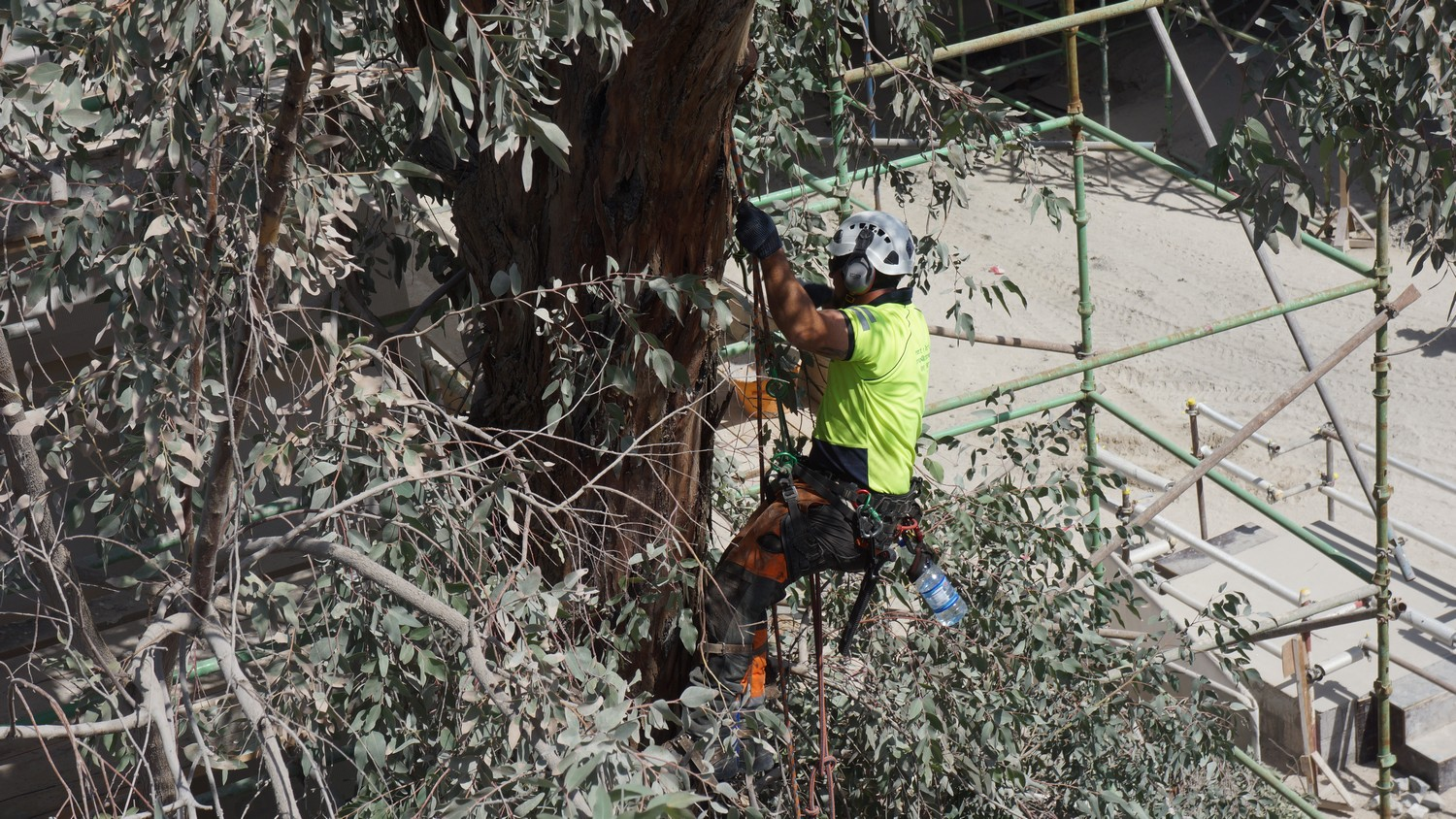 Tree Surgery to an old eucalyptus, Abu Dhabi
