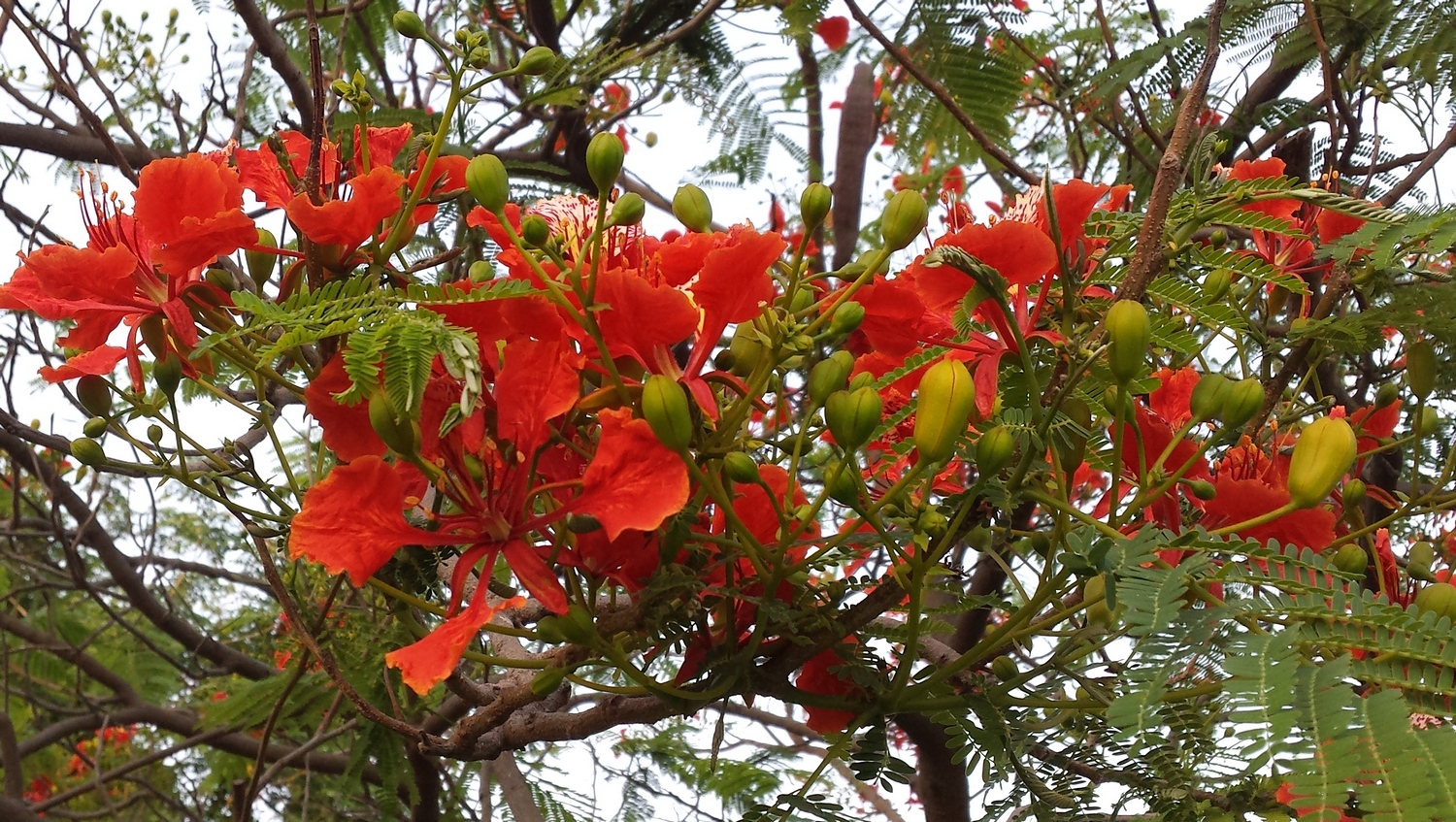 Delonix regia, the flamboyant tree